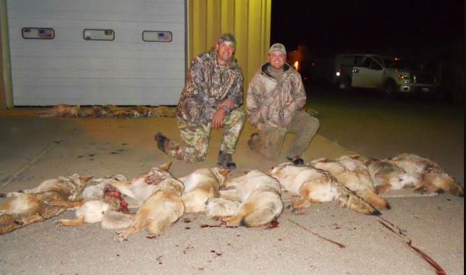 Why do hunters hunt coyotes
